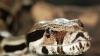 Пропавшего индонезийца нашли в теле питона