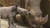 В зоопарке под Парижем браконьеры напали на носорога с бензопилой