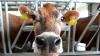 В США свободолюбивая корова ушла от полицейской погони
