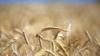 По прогнозам ФАО, объём производства пшеницы в мире в 2017 году составит 744,5 млн тонн