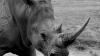В зоопарке во Франции носорогам отрежут рога, чтобы спасти их от браконьеров
