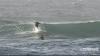 Видео: Дельфин не дал серферу поймать волну