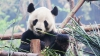 Биологи разгадали тайну чёрно-белого окраса панд