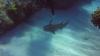 Видео: Акула попросила дайвера вытащить из нее нож