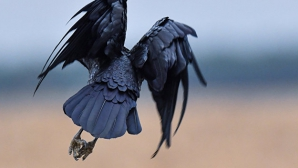 В Токио выясняют причину загадочной смерти ворон в одном из парков