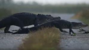 Видео: Во Флориде прошел парад крокодилов