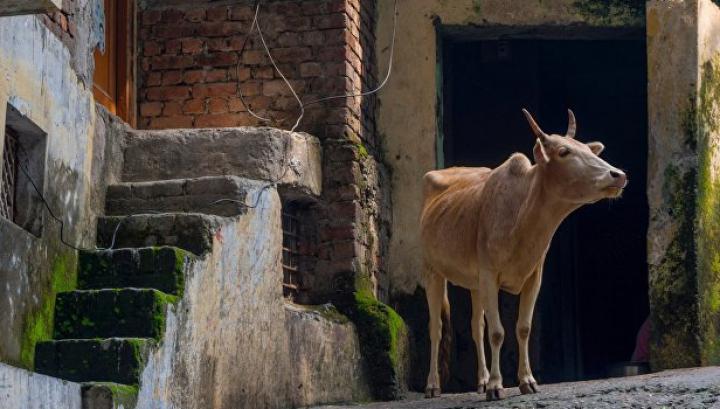 В Индии хотят пожизненно сажать в тюрьму за убой коров и провоз говядины