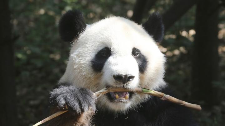 Pornhub призвал снимать порно в костюмах панд