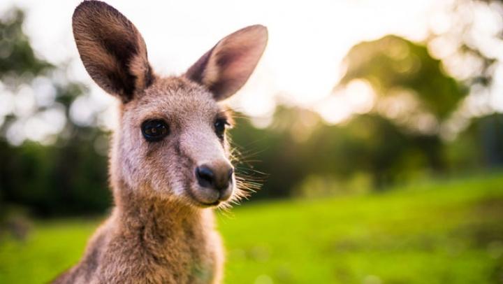 Видео: Американец прогулялся с кенгуру на поводке