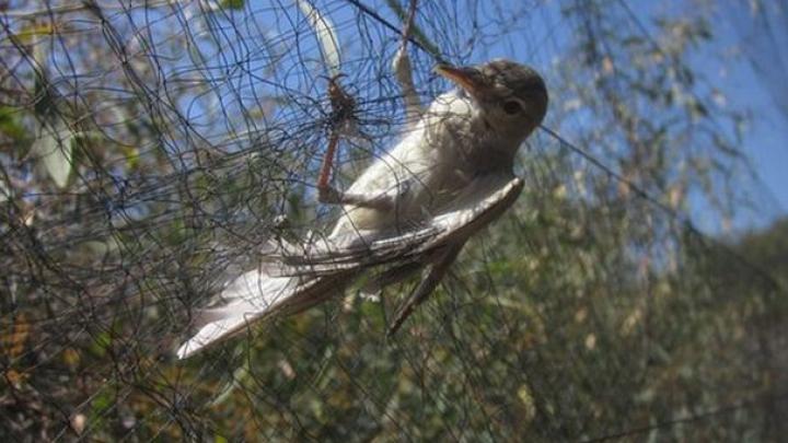 На британской военной базе на Кипре было убито 800 тысяч птиц