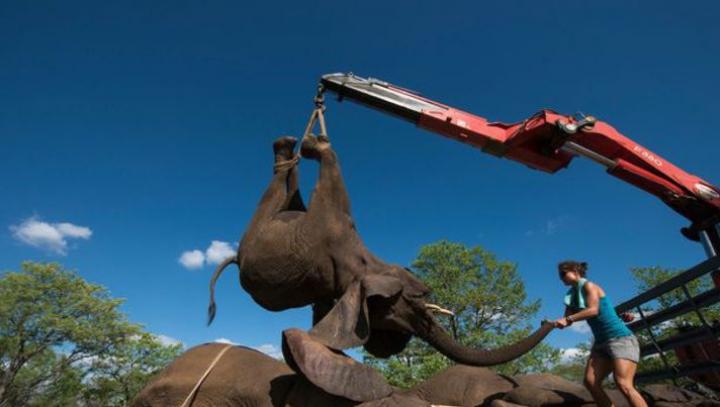 В ЮАР слонов эвакуировали в безопасную зону строительными кранами