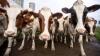 Видео: Канадский бобер повел за собой 150 коров