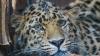 В Непале леопард нарушил работу аэропорта