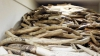 Гражданин Китая пытался вывезти из России три килограмма бивней мамонта