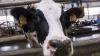 В Англии спасателям пришлось вылавливать корову из бассейна: видео