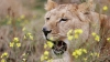 Под Саратовом на школьника напала львица