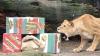 Покусавшая подростка львица держала в страхе всех жителей города