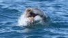 Ученые узнали, как дельфины готовят блюдо из смертельно опасных осьминогов