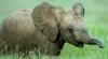 Стадо отбило слонёнка, хобот которого схватил крокодил