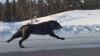 Канадка сняла на видео необычную встречу с огромными черными волками