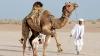 В Саудовской Аравии пройдут верблюжьи конкурсы красоты