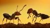 Ученые: Муравьи спасают раненных в боях сородичей