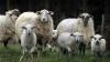 Видео: Лишившийся овец ирландский пастух удивил пользователей сети ужасным акцентом