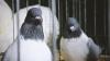 Сотни самых необычных птиц были представлены на выставке-ярмарке в Страшенах