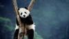 В Китае выращенный в заповеднике самец панды умер через два месяца на воле