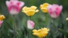Недалеко от села Бардар зацвела одна из крупнейших в Молдове плантаций тюльпанов