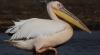 Беспилотник снял на видео отчаянную атаку пеликана