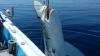 Греческие рыбаки выловили семиметровую акулу в Эгейском море