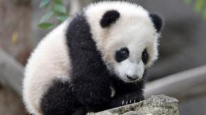 Видео: Разозлившийся детёныш панды напал на туристку