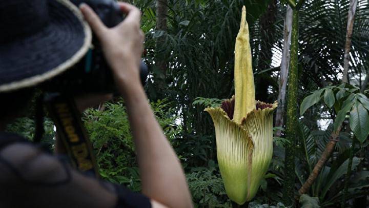 В Бельгии расцвели сразу два цветка-гиганта
