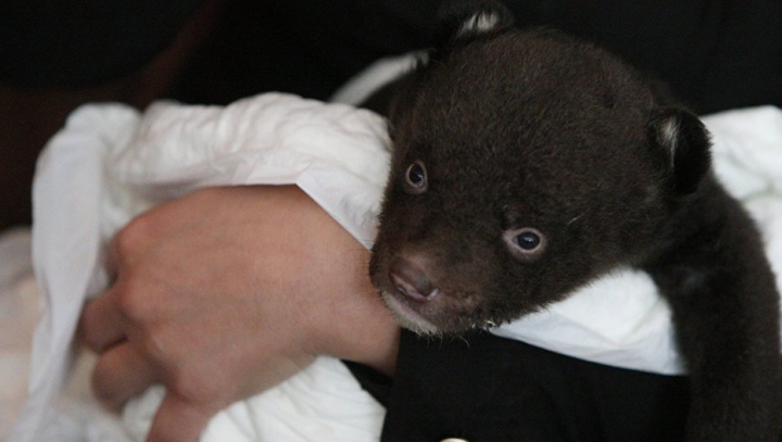 В Приморье спасли истощенного гималайского медвежонка, оставшегося без мамы