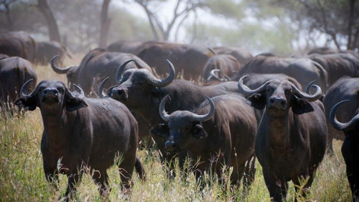 Видео: Стадо буйволов отбило сородича от напавших на него львов