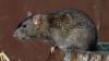 Новая Зеландия начала войну с крысами