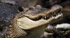 Туристы сняли луговую собачку, которая слишком близко подошла к аллигатору