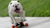 "Видео: Бульдог-скейтбордист на скорости врезался в двери офиса ""Би-би-си"""