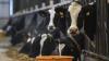 Стадо коров вывалили из «КамАЗа» на пастбище в Татарстане