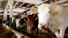 Видео: В Махачкале полиция открыла огонь по корове