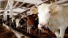 Заблудившиеся коровы прогулялись по торговому центру в Сургуте: видео