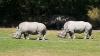 Из университета в США украли ценный рог носорога