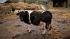 Подмосковные спасатели вытащили корову из канализации