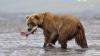 На Камчатке начался сезон медвежьих свадеб