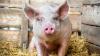 Свинья родила поросёнка с двумя головами, четырьмя глазами и одним телом (18+)