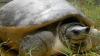 Последний шанс спасти вид древней черепахи — найти самца для единственной самки