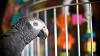 Итальянец убил соседку из-за оскорблявшего его попугая