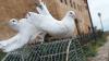 Более 900 птиц будут представлены на соревнованиях почтовых голубей на Урале