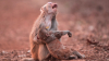 Фотограф случайно снял муки матери-обезьяны, которая думала, что её детёныш умер